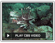 CBS News video of Lionfish Derby